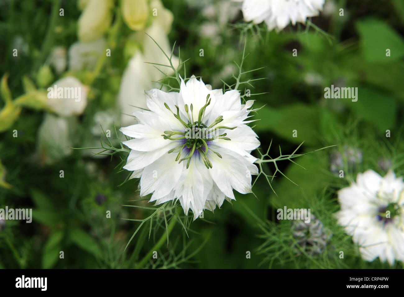 Graines de fleurs love in a mist Blanc Nigella Damascena Annual