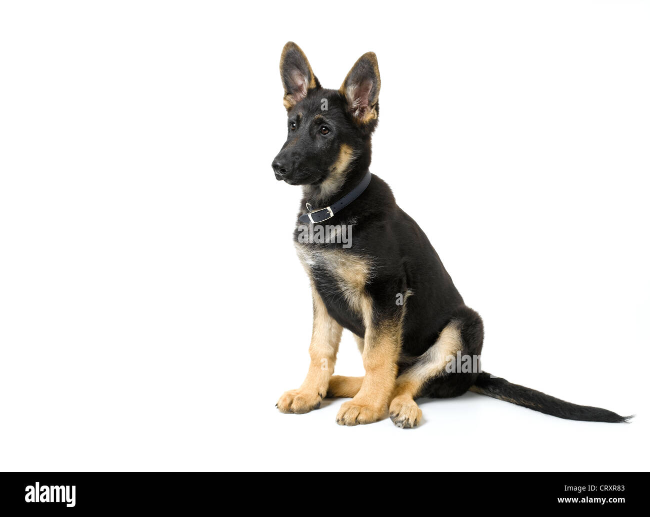 Chiot berger allemand Photo Stock