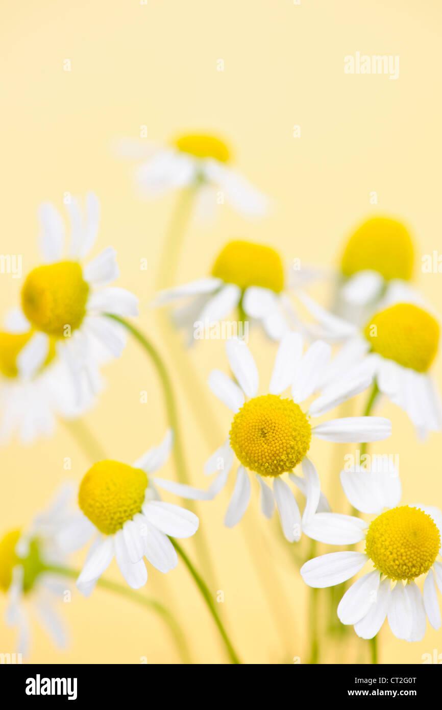 Libre de fleurs de camomille sur fond jaune Photo Stock