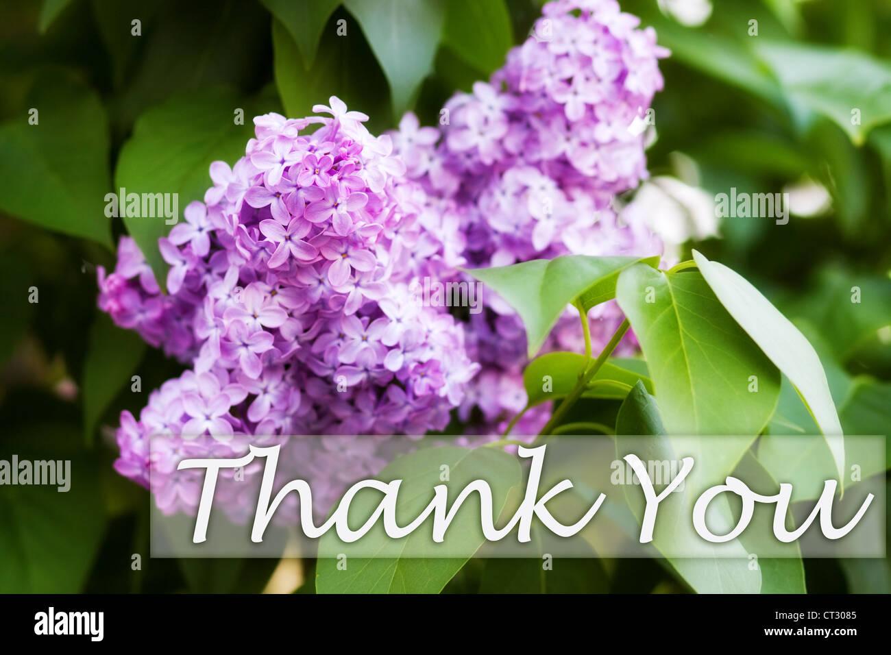 """""""Merci"""" - carte de souhaits avec de belles fleurs lilas. Ce droit est exclusif à Alamy. Photo Stock"""