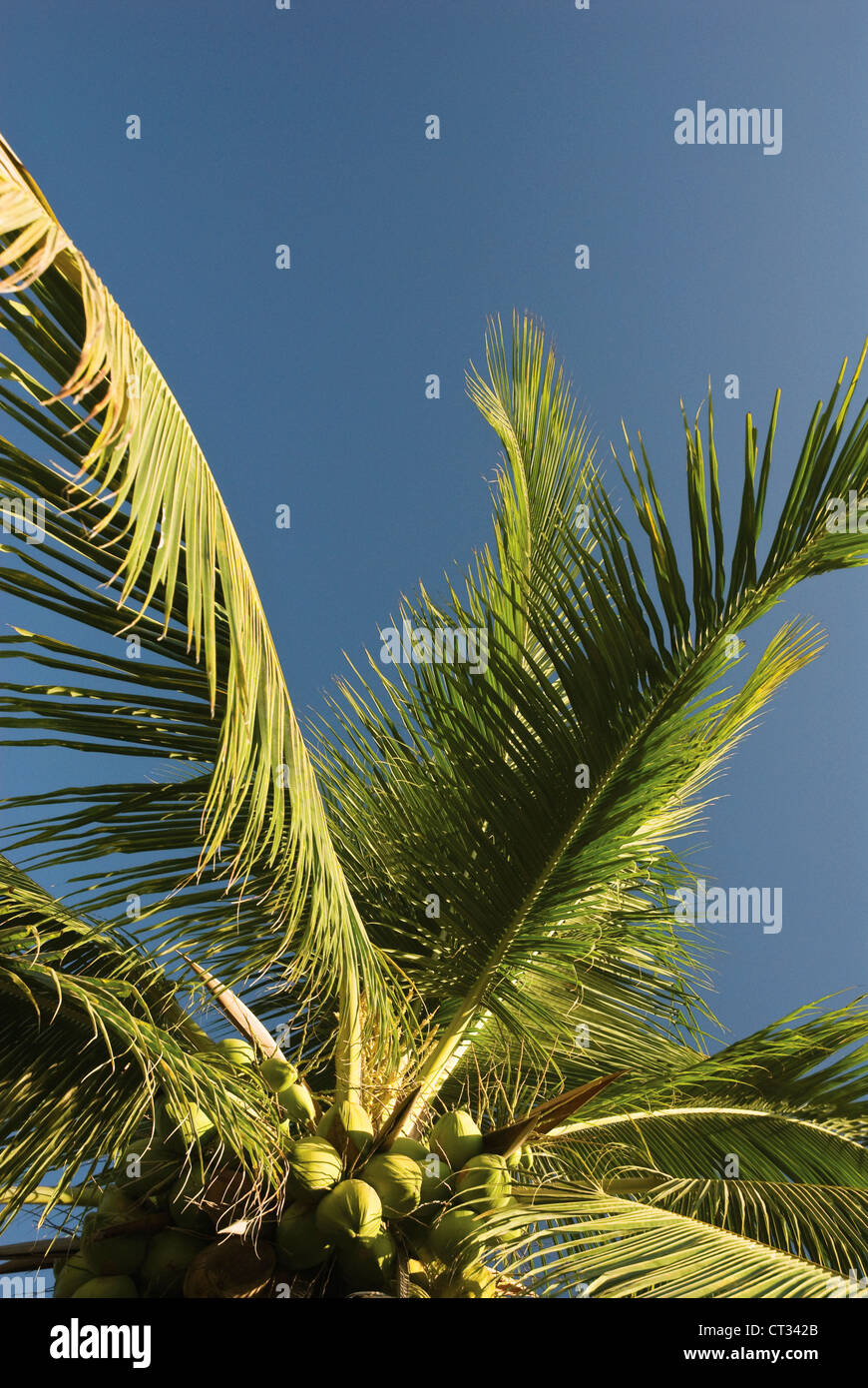 Cocos nucifera Evergreen Tree durable des ressources comestibles Photo Stock