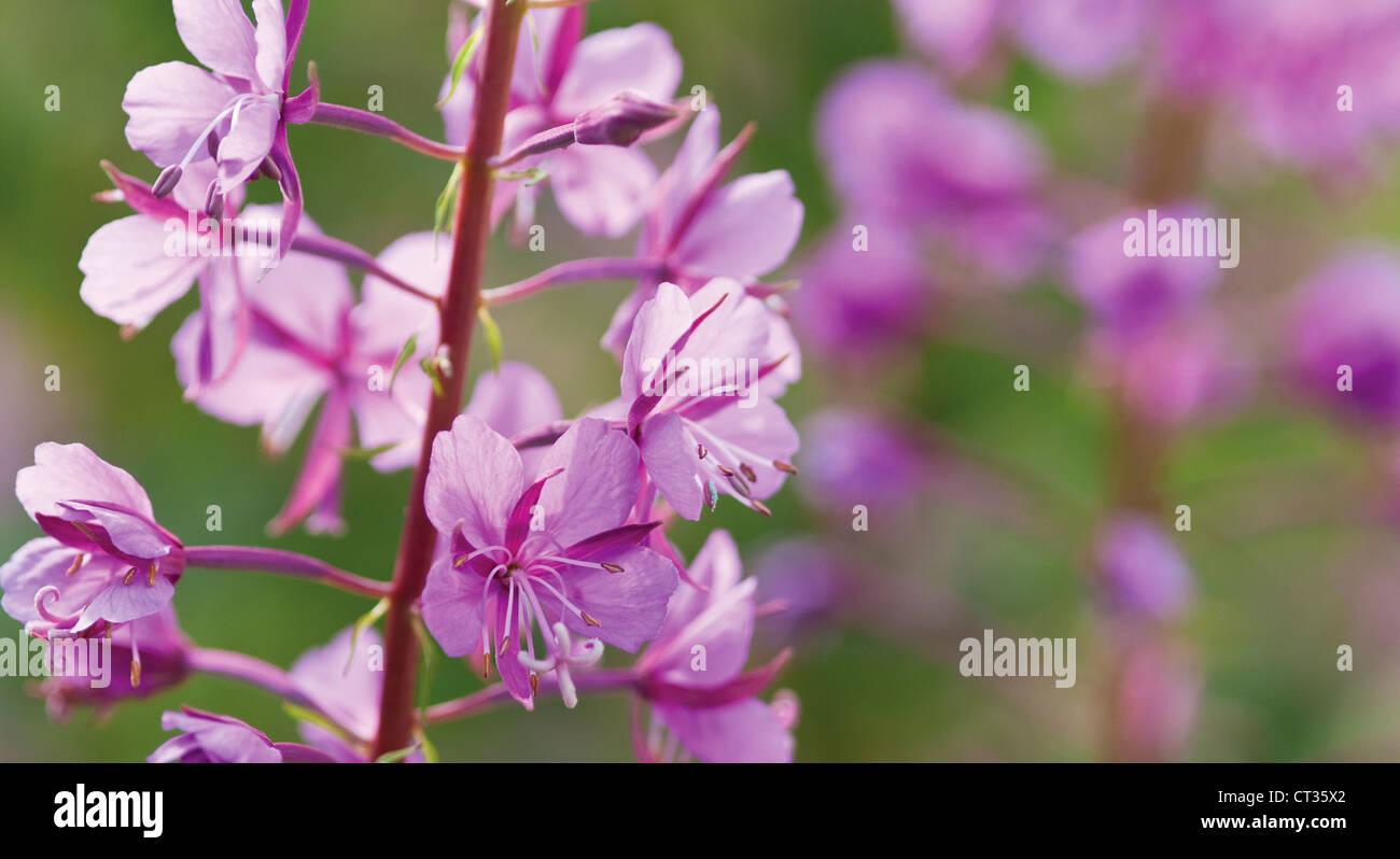 Chamerion augustifolium Photo Stock