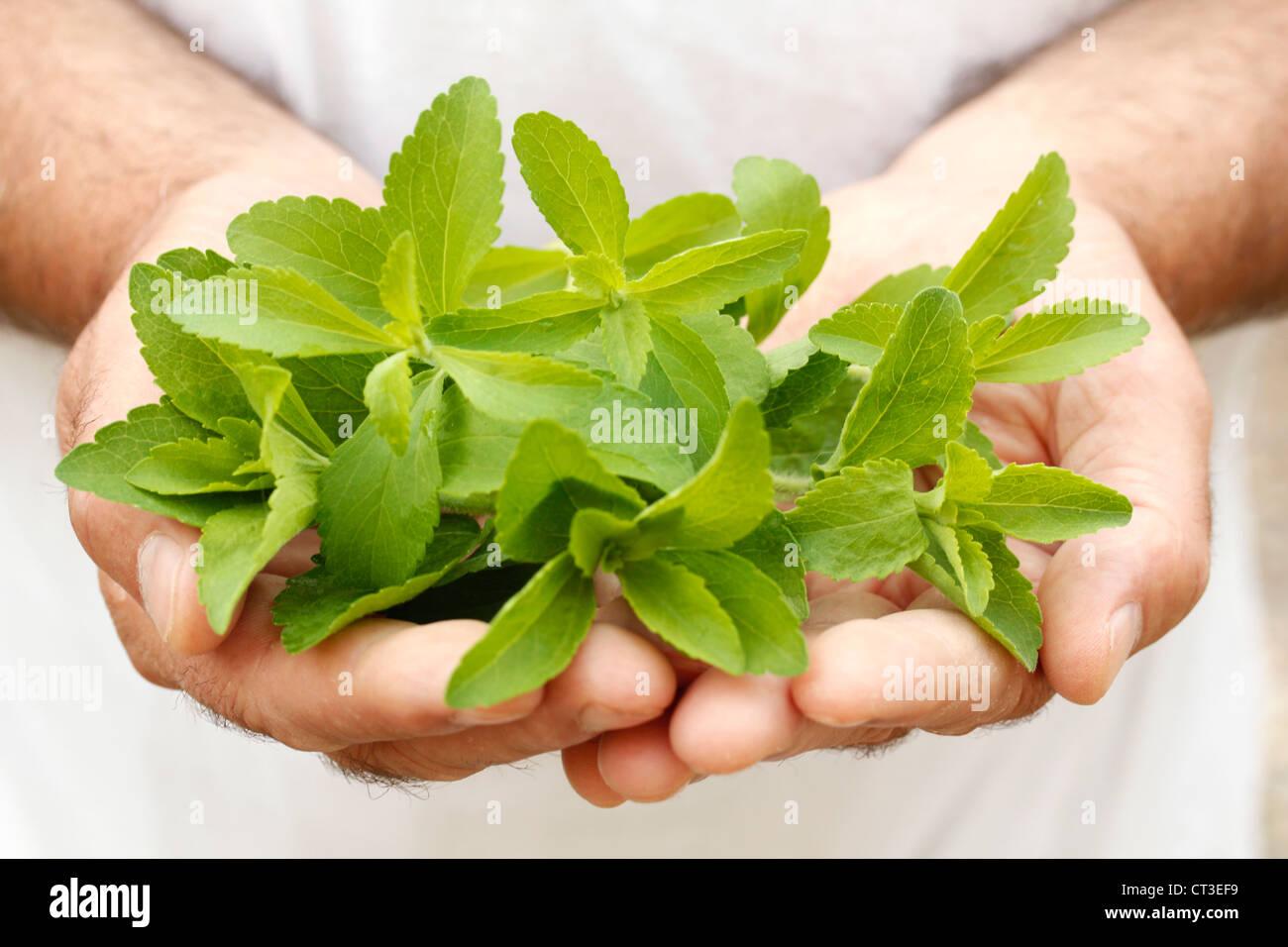 Sweet herb Stevia rebaudiana Photo Stock