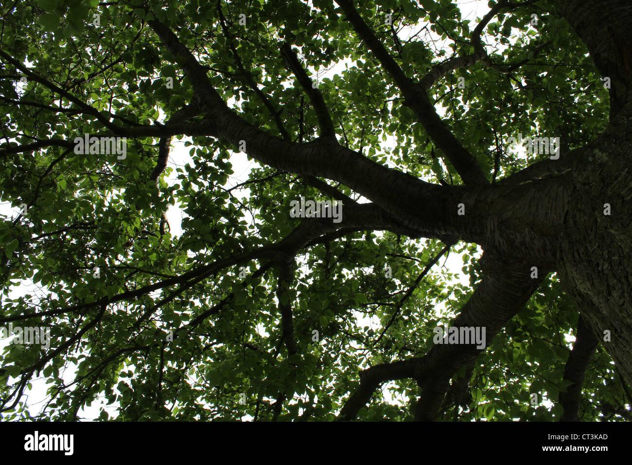 L'obscurité de l'arbre (le dessous d'un vieux saule). Photo Stock