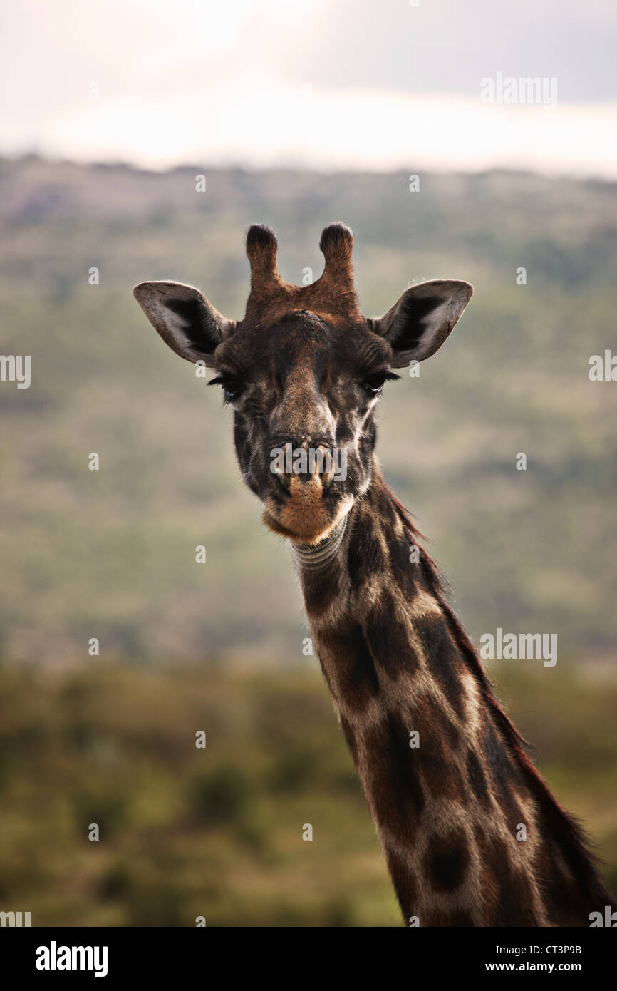 Close up de girafes face Photo Stock