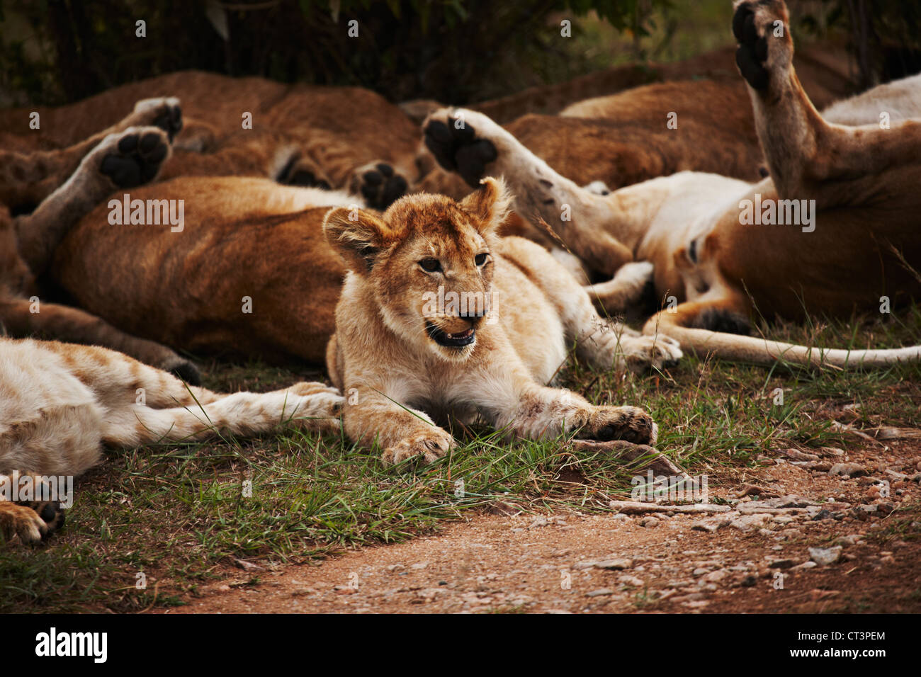 Lion pack relaxing in grass Photo Stock