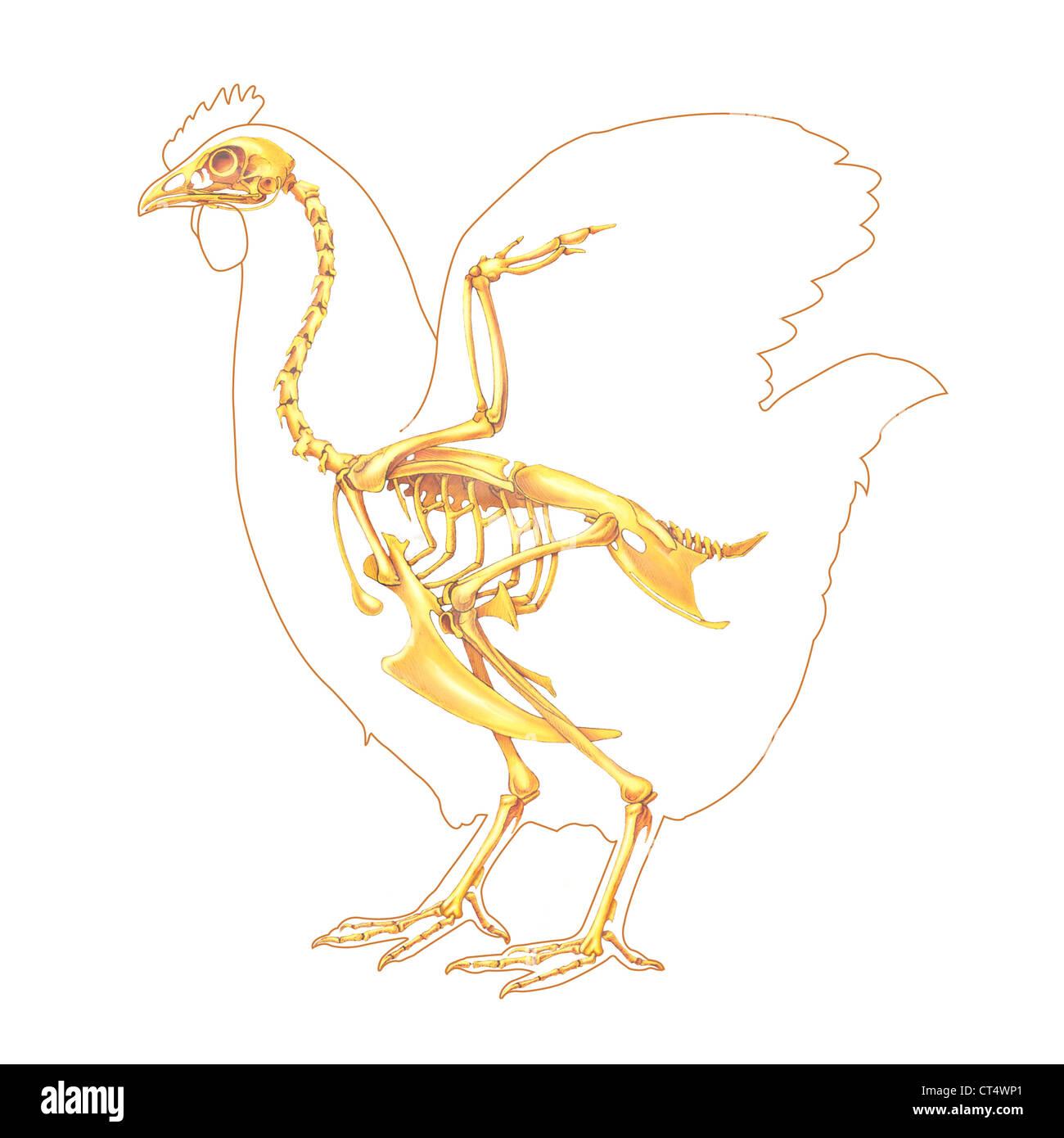 Anatomie Poule anatomie poule, dessin banque d'images, photo stock: 49280505 - alamy