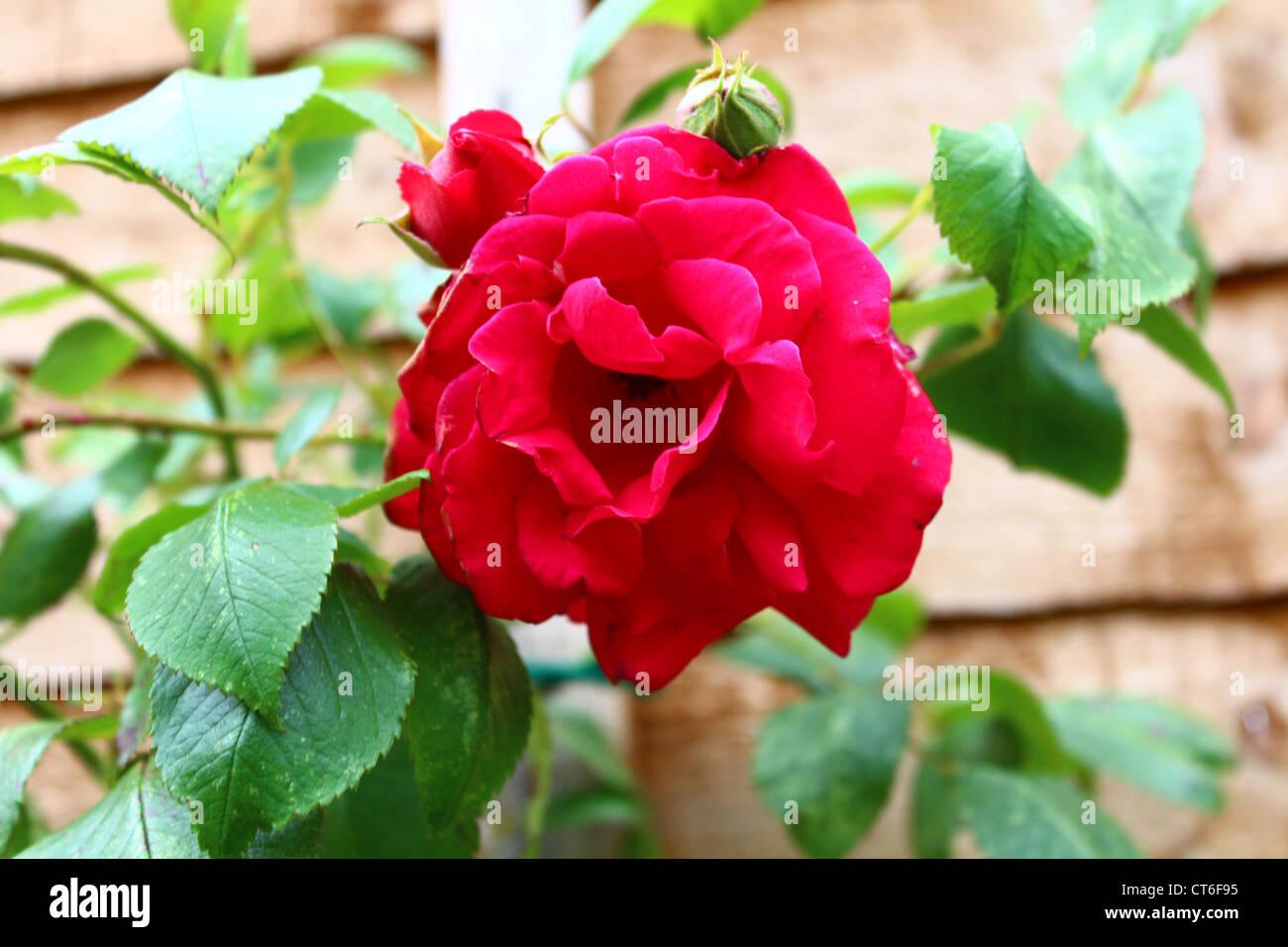 """Les roses sont rouges...' Photo Stock"