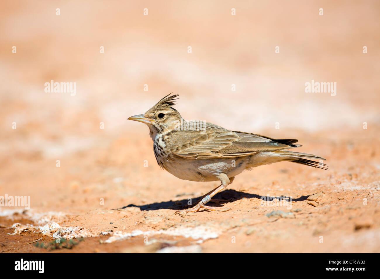 Galerida cristata Crested Lark; Espagne; Photo Stock