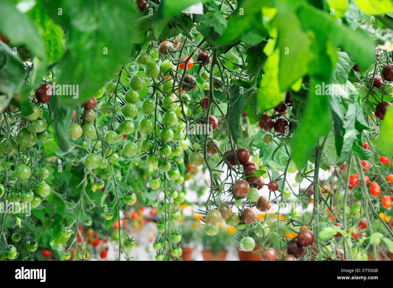 Tomate, Lycopersicon esculentum Photo Stock