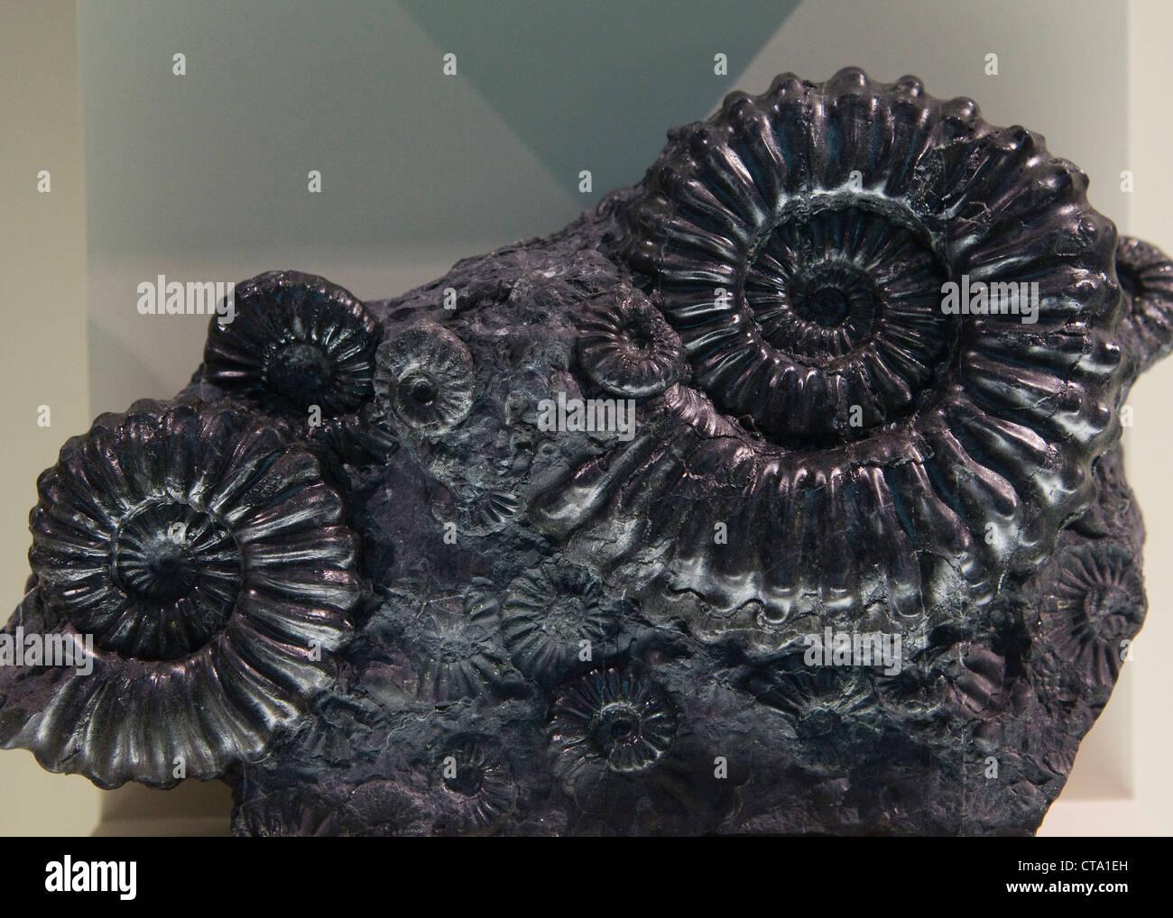 Fossiles d'Ammonites Photo Stock