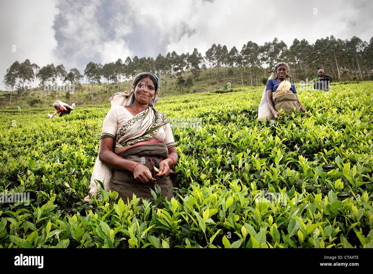Les cueilleurs de thé tamouls cueillir les feuilles de thé à la plantation, la production de thé, Photo Stock