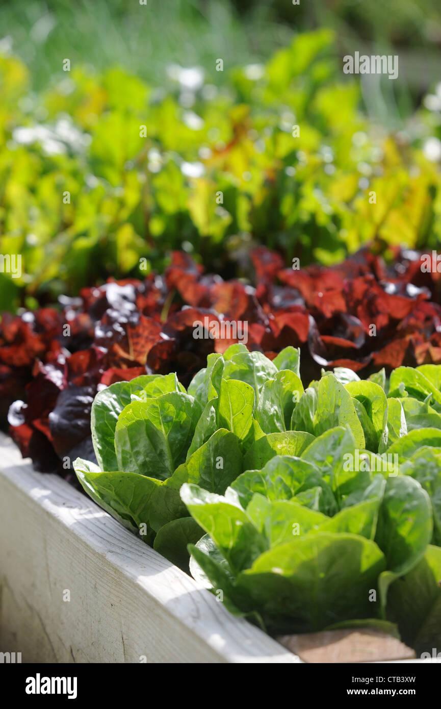 Les feuilles de salade dans de plus en plus soulevées lits végétale UK Photo Stock