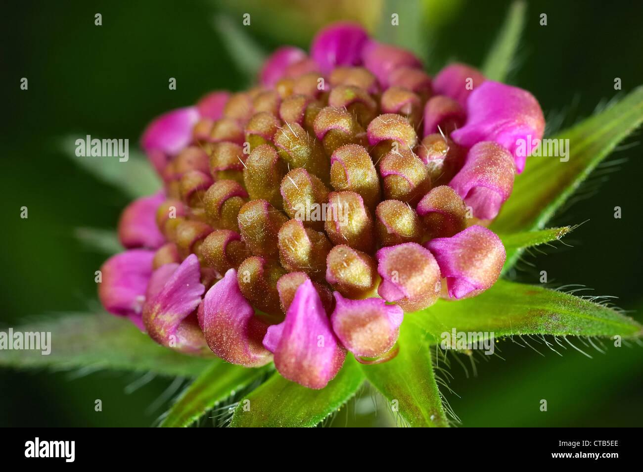Close Up De Fleur De Trefle Rouge Banque D Images Photo Stock