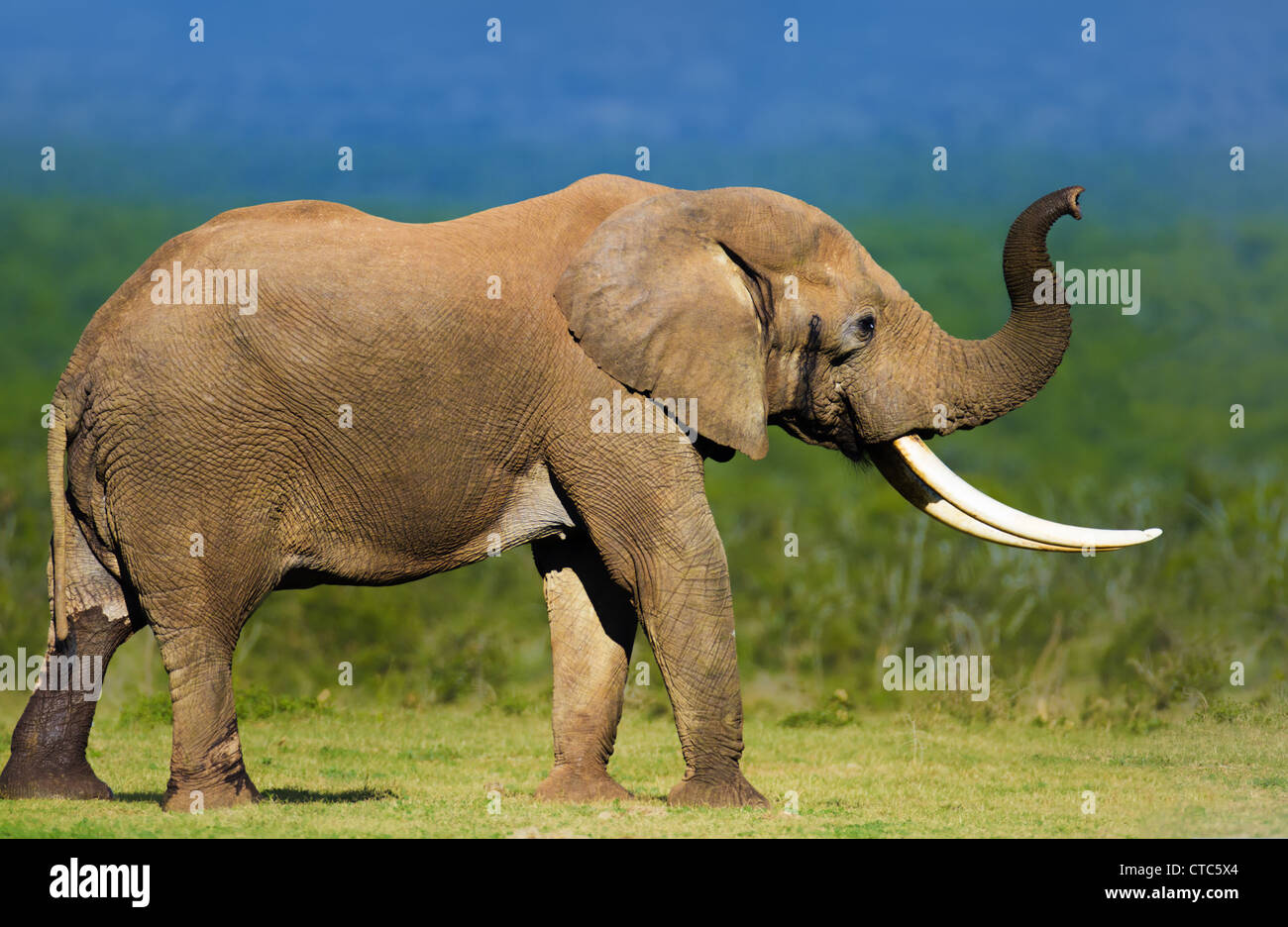Elephant avec de grandes défenses qui sent l'air - Addo National Park - Afrique du Sud Photo Stock