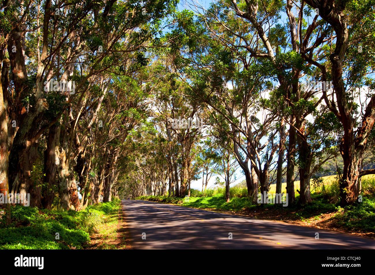 Swamp Acajou, Tunnel d'arbres, Koloa, Poipu, Kauai, Hawaï Banque D'Images