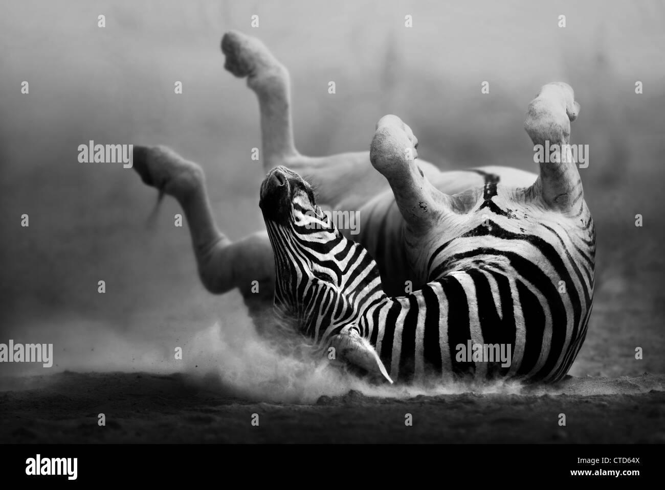 Zebra roulant sur le sable blanc poussiéreux (traitement artistique) Etosha National Park - Namibie Photo Stock