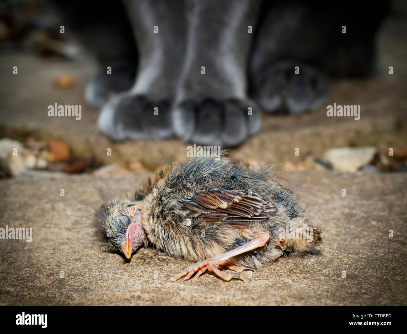 Jeune oiseau tué par un chat domestique Photo Stock