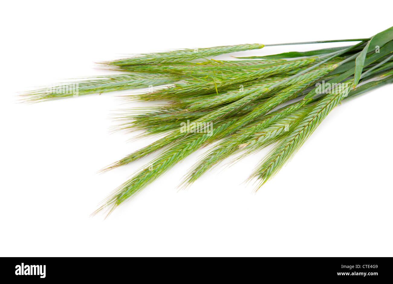 Les pointes de seigle vert (Secale cereale), sur fond blanc Photo Stock