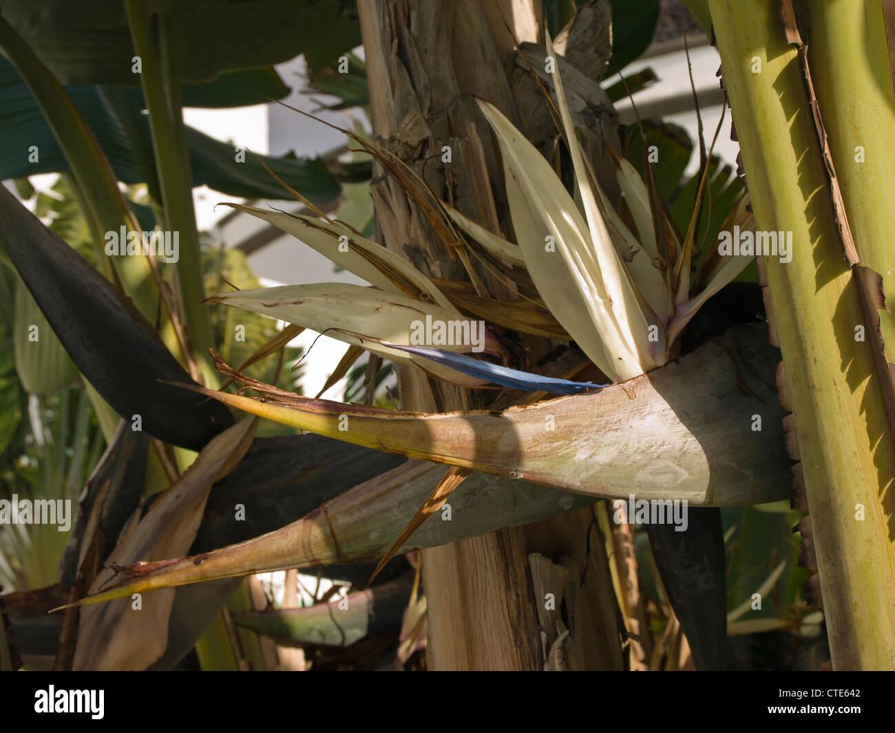 Gros Plan De L Oiseau De Paradis Geant Fleur En Lanzarote Iles
