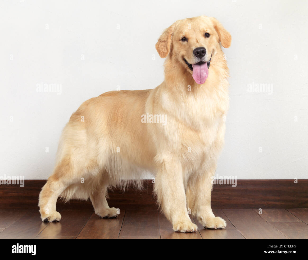 Quinze mois Golden Retriever dog portrait intérieur Photo Stock