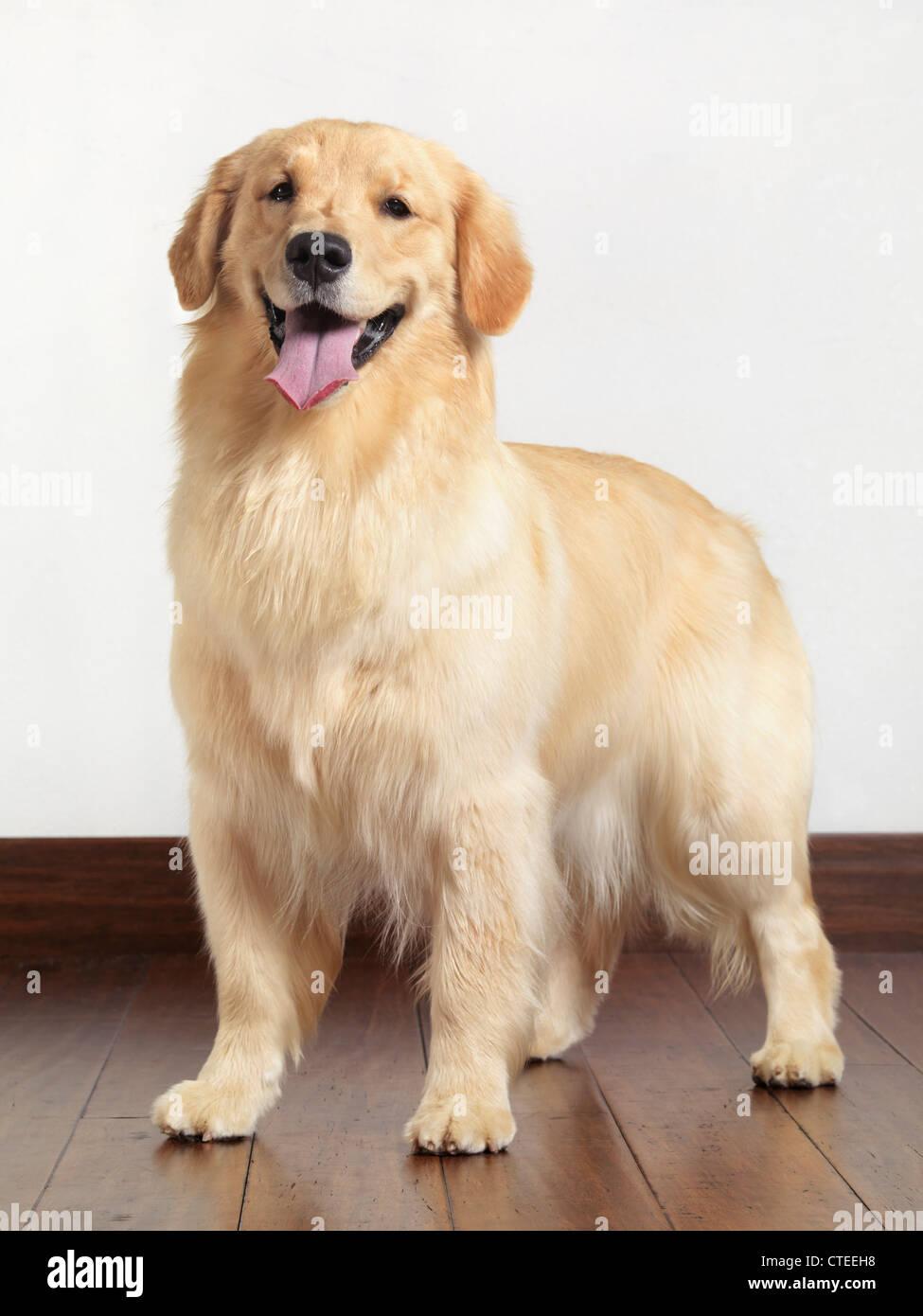 Golden Retriever portrait intérieur. Vieux chien de 15 mois. Photo Stock