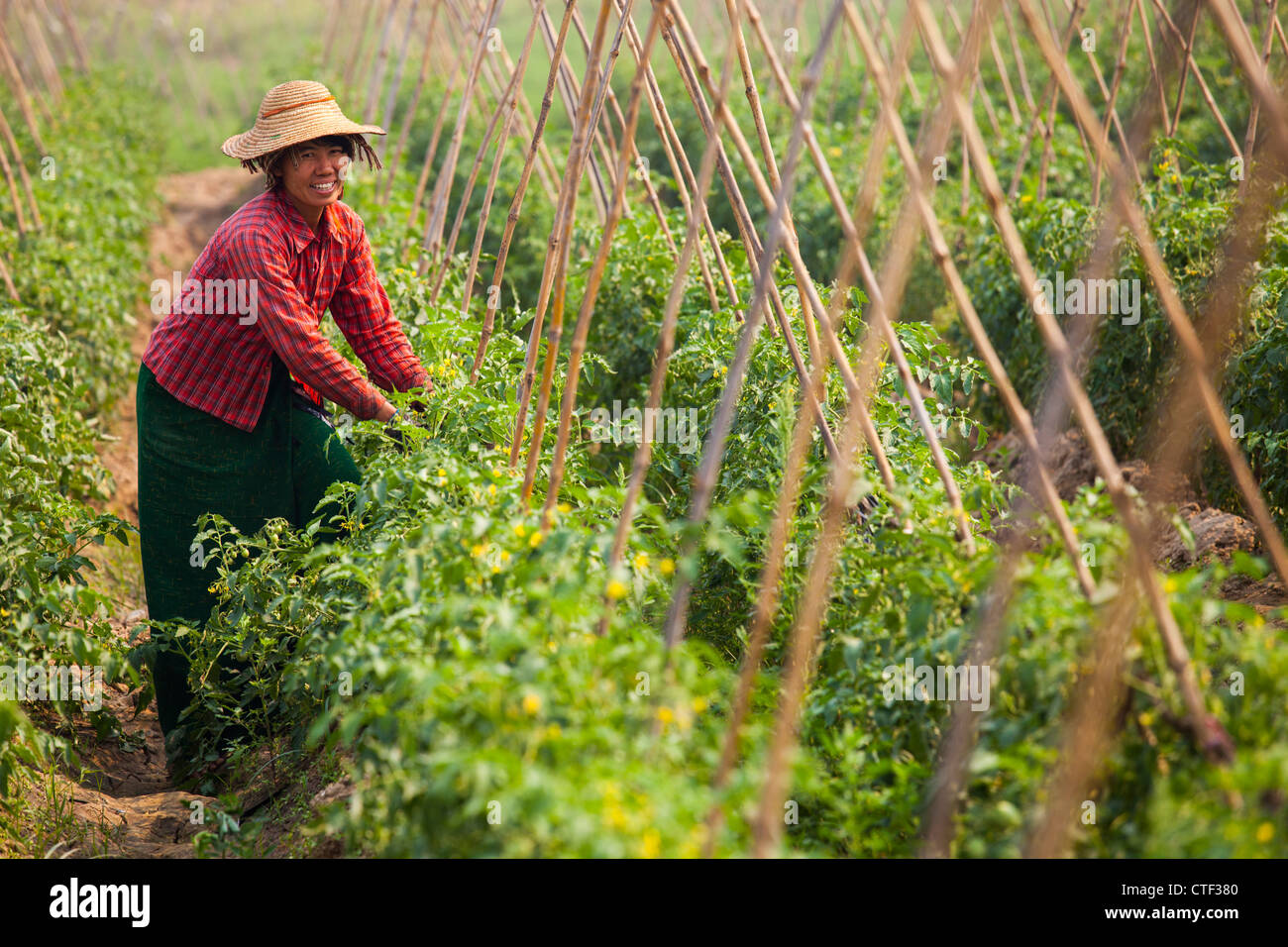 Femme au Myanmar l'agriculture tomate Photo Stock