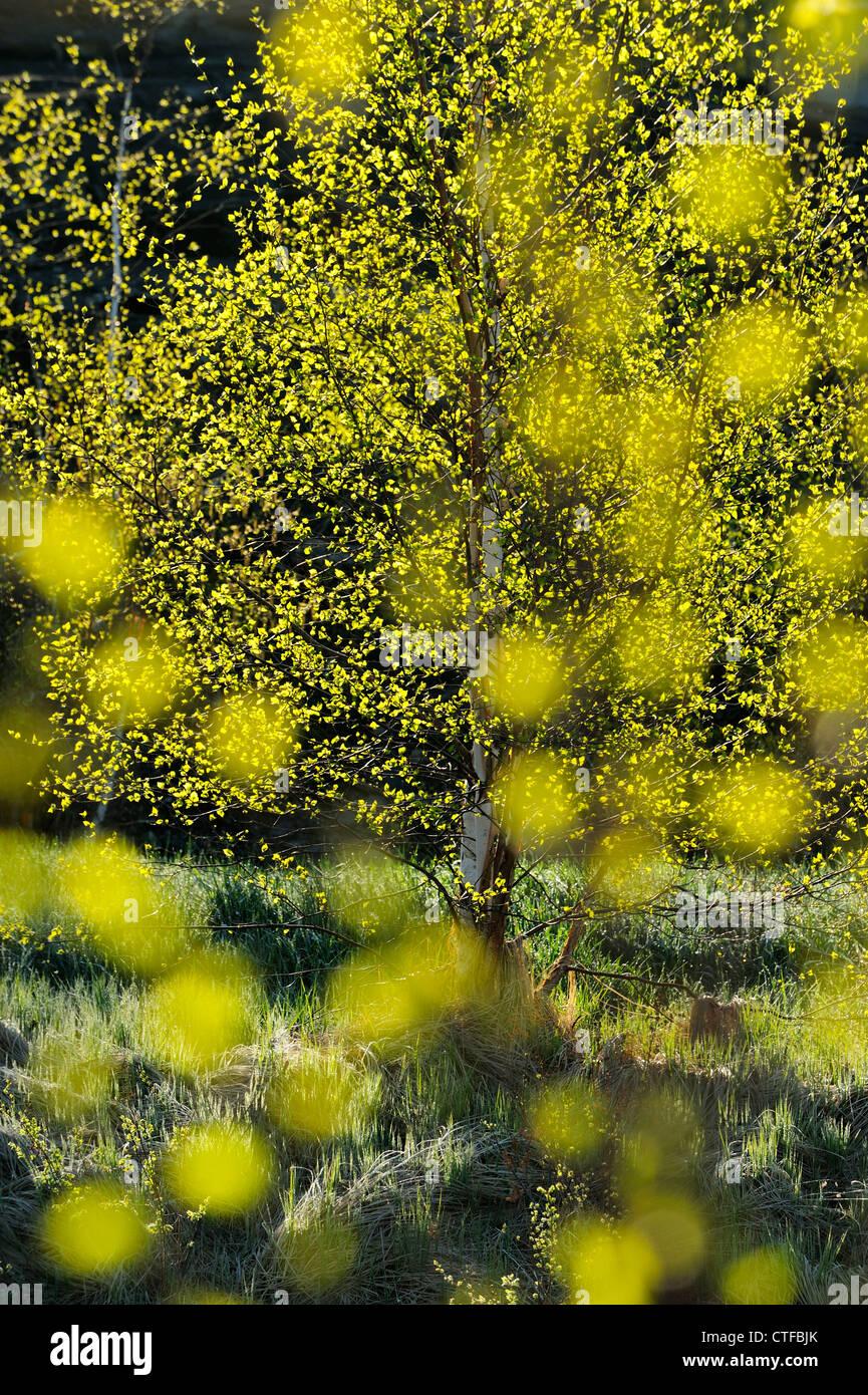 Les bouleaux de printemps comme vu par des problèmes de mise au point des feuilles de bouleau, le Grand Sudbury, Photo Stock