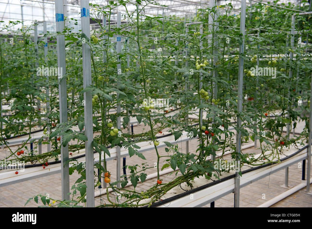 La tomate cultivée avec du liquide nutritif en Chine. Photo Stock