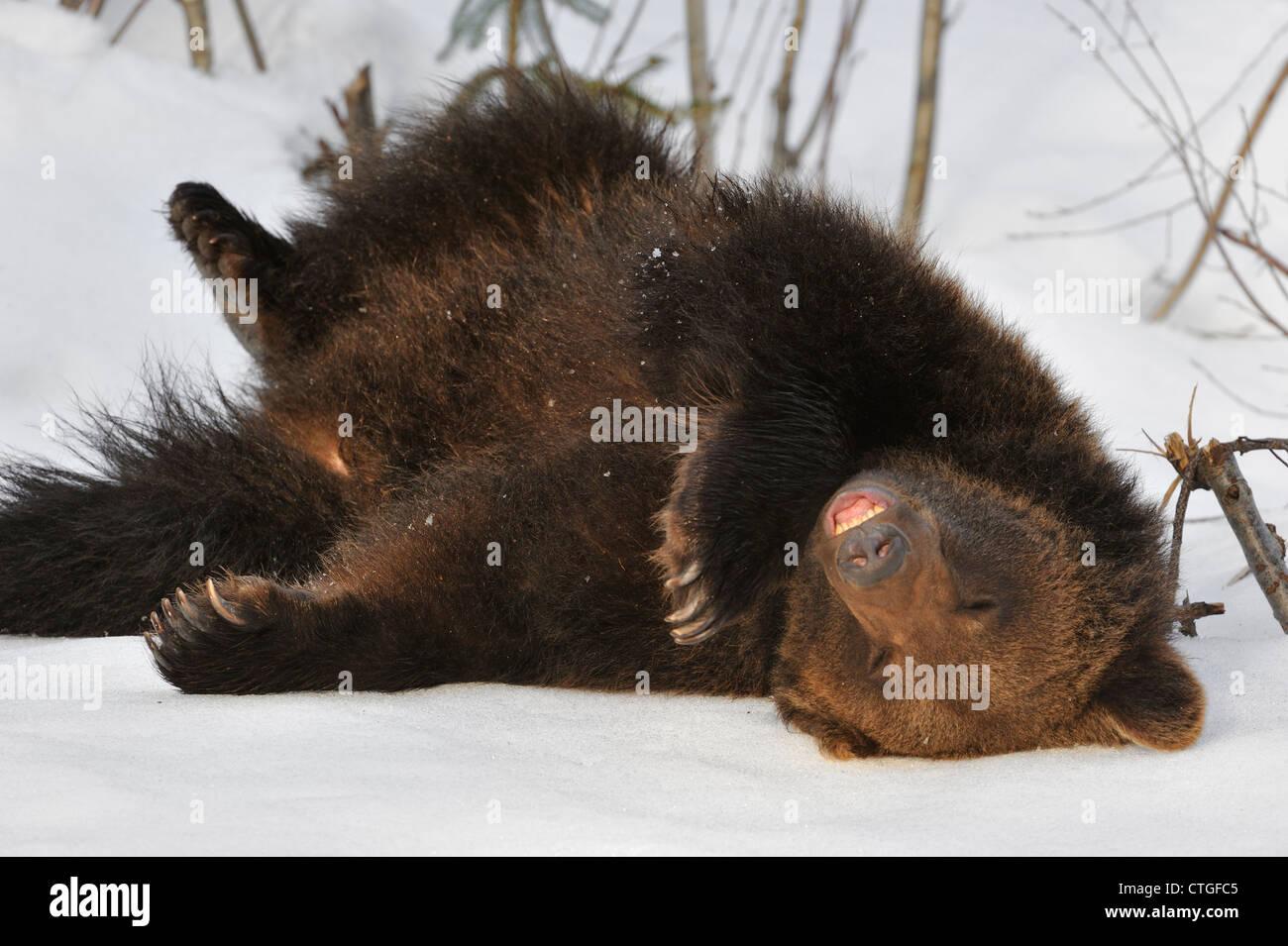 Les jeunes paresseux ours brun (Ursus arctos) dormir sur le dos dans la neige au début du printemps après Photo Stock