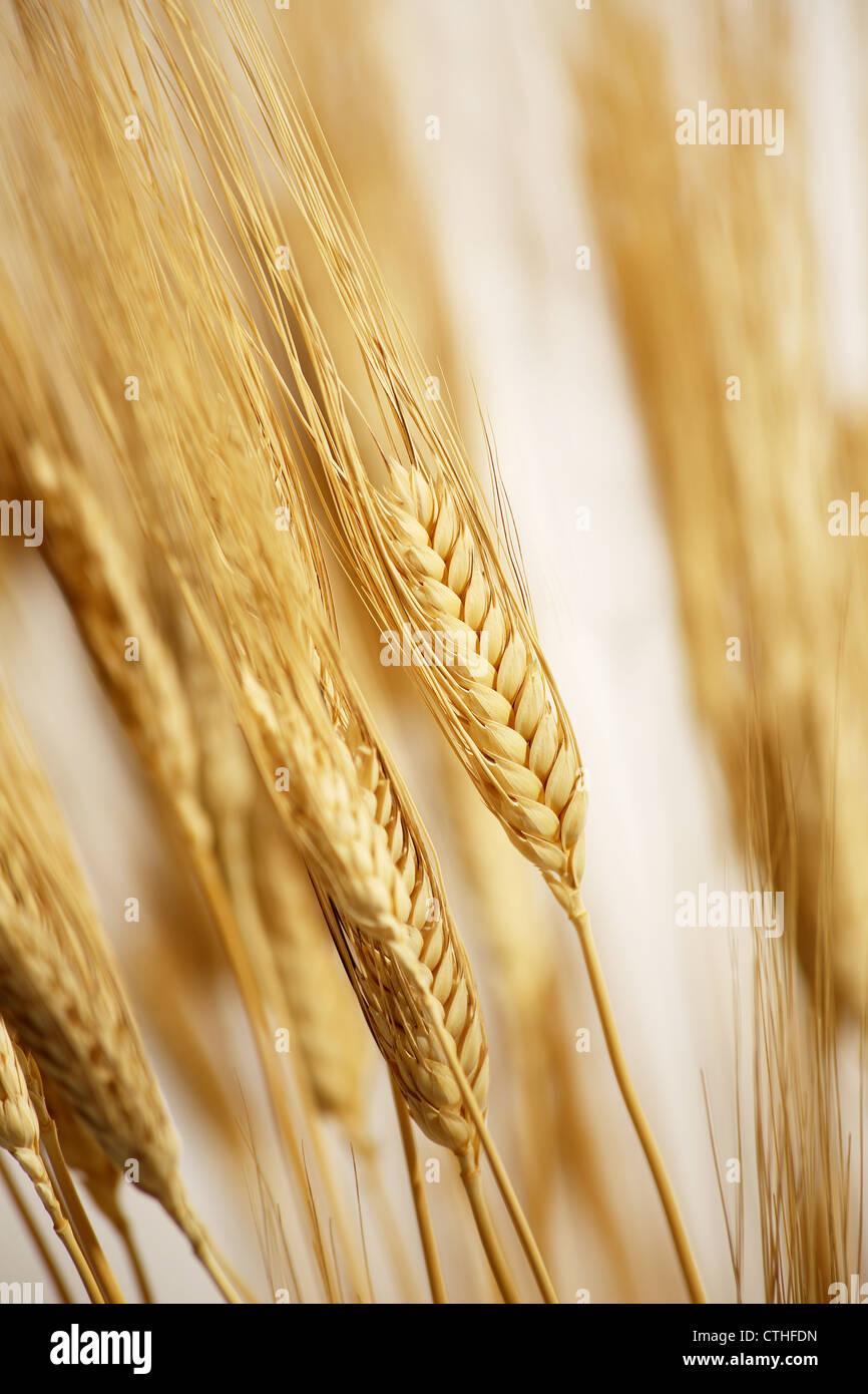 Champ de blé cultivé avec lever du soleil Photo Stock