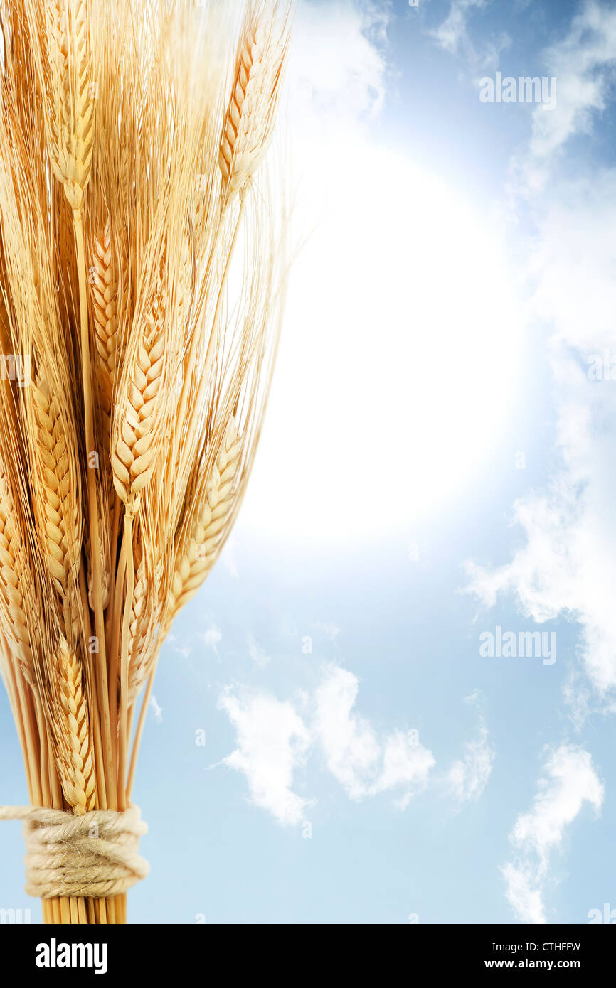 Le blé sur ciel bleu avec Sunrise Photo Stock