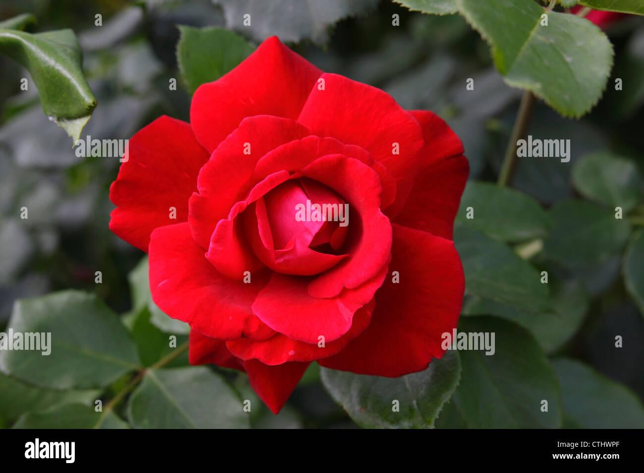 Gros plan d'une fleur rose Photo Stock