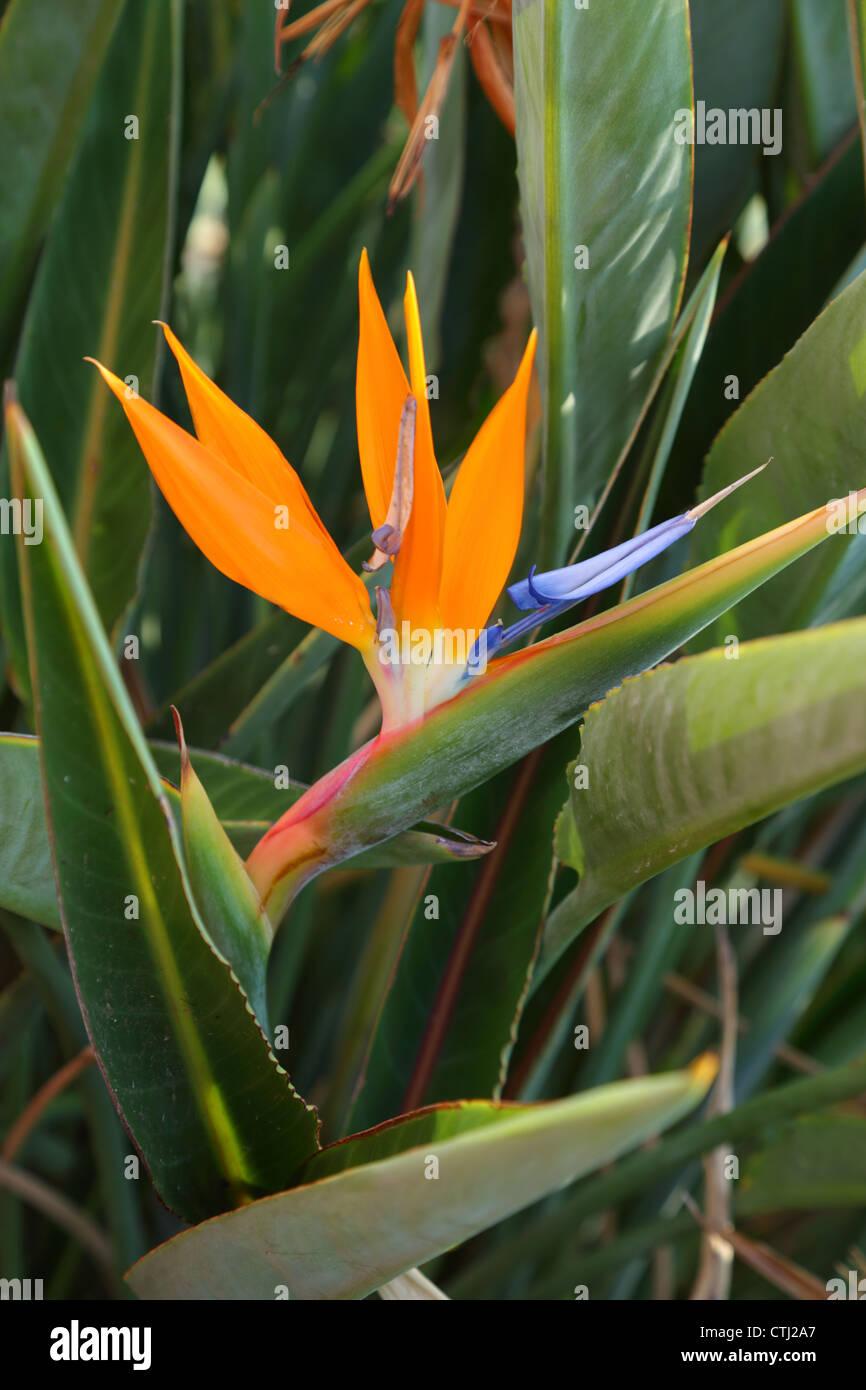 Bird of Paradise Flower, New York Photo Stock