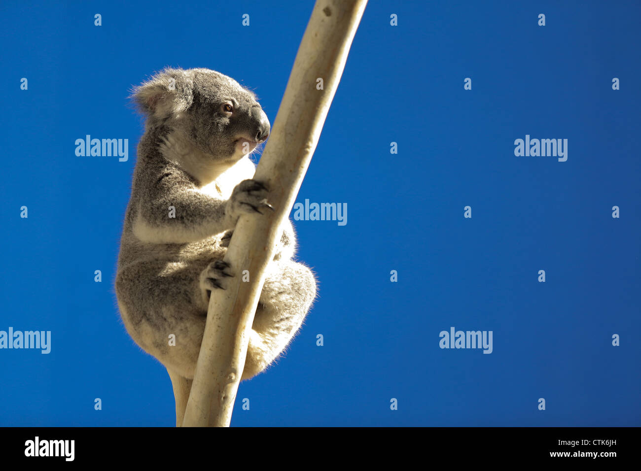 Koala grincheux on tree Photo Stock