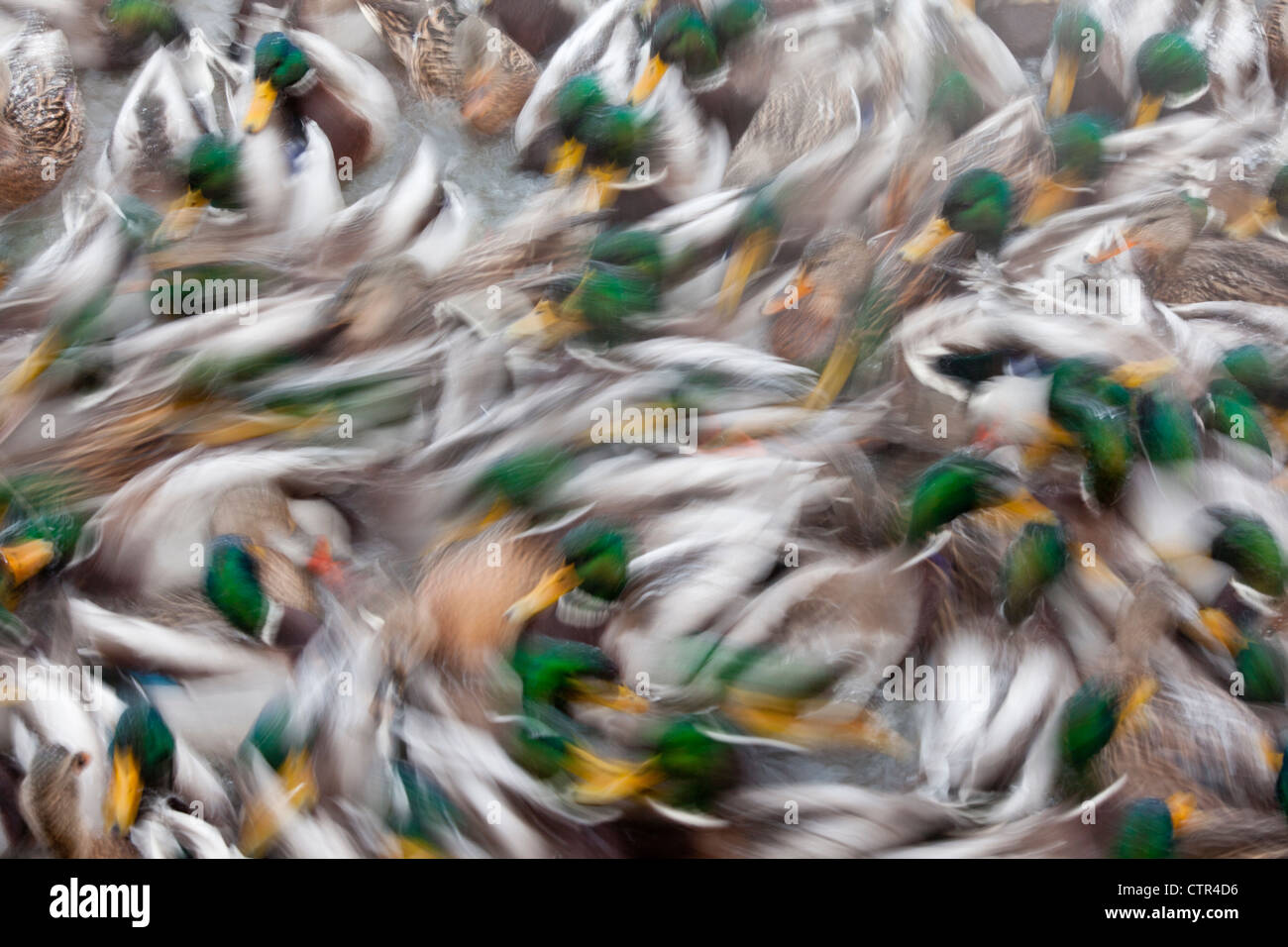 Résumé d'un grand troupeau de canards colverts nager dans un étang à Anchorage, Alaska, Photo Stock