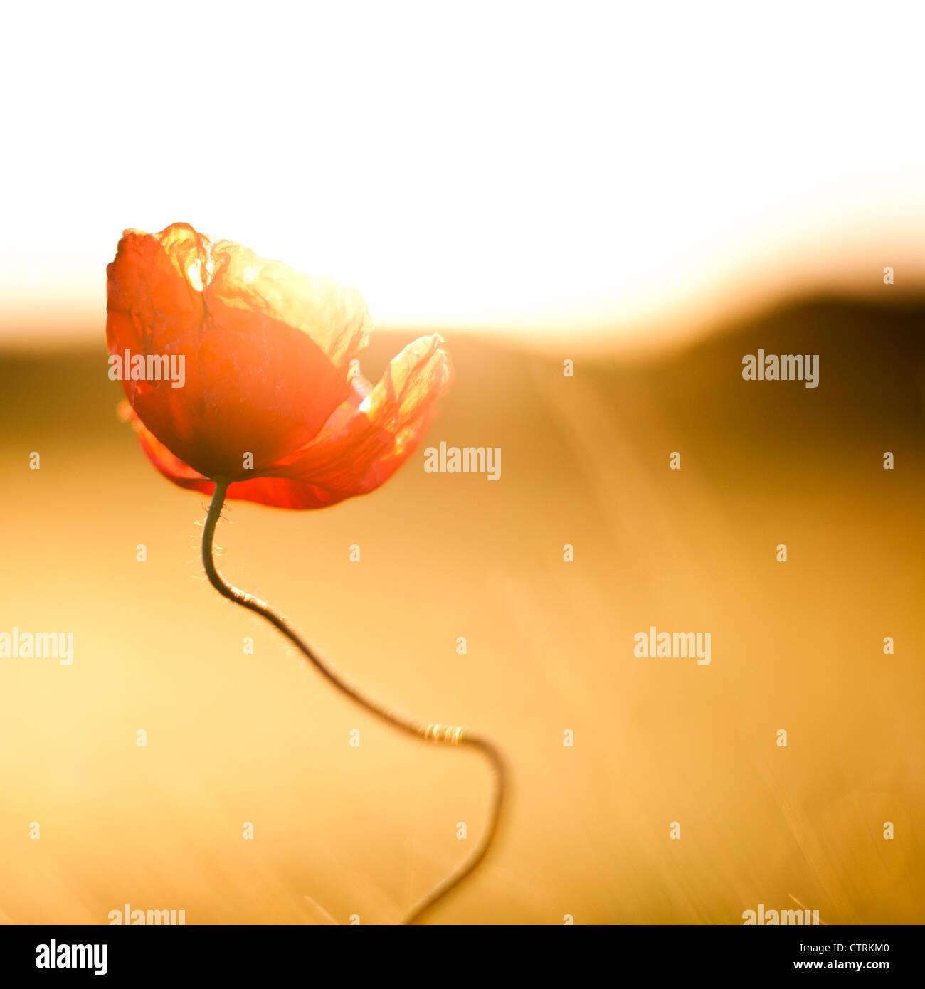 Fleur de pavot contre la lumière Photo Stock