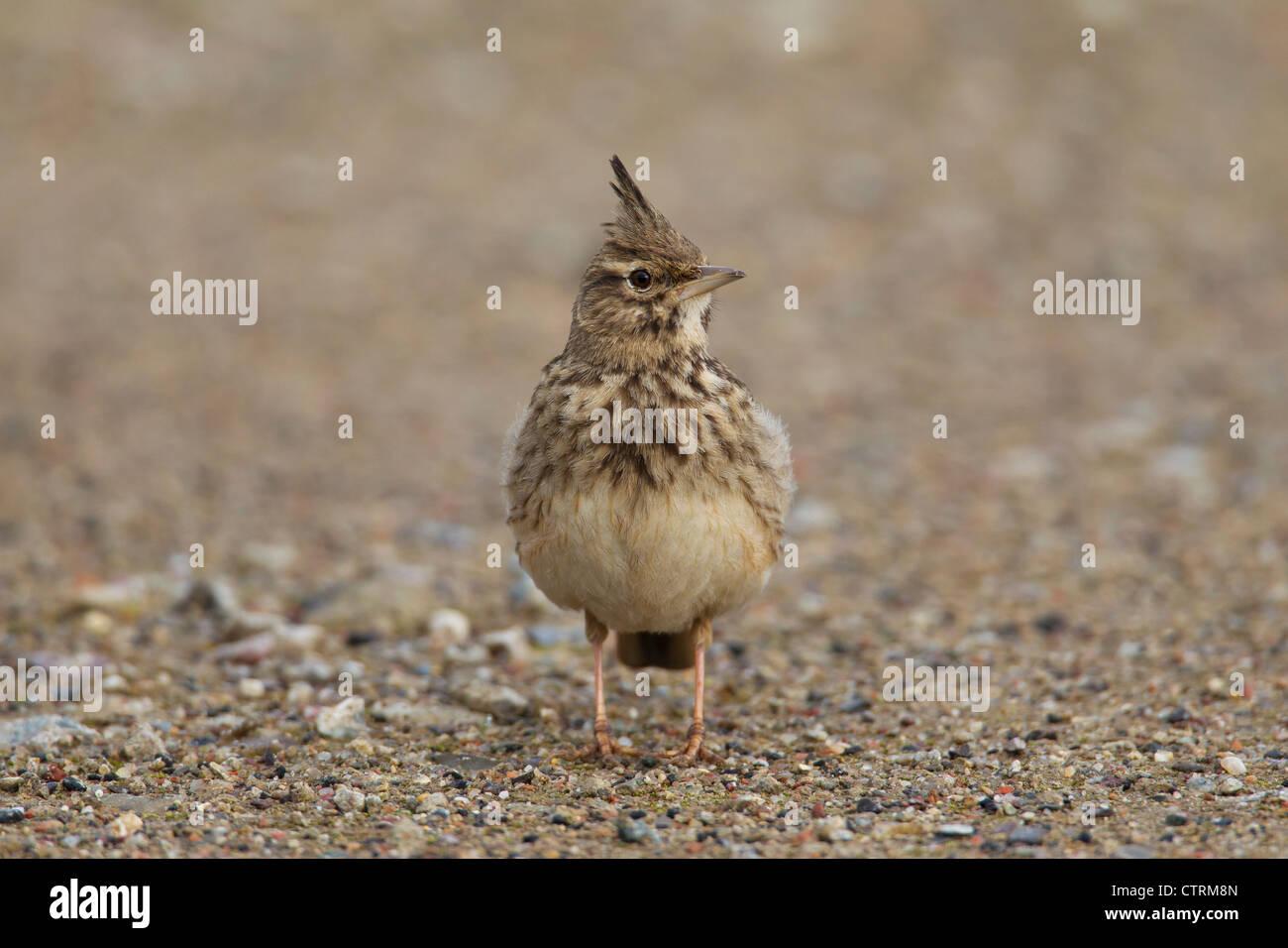 Galerida cristata Crested lark (mâle) assis sur le sol, Allemagne Photo Stock