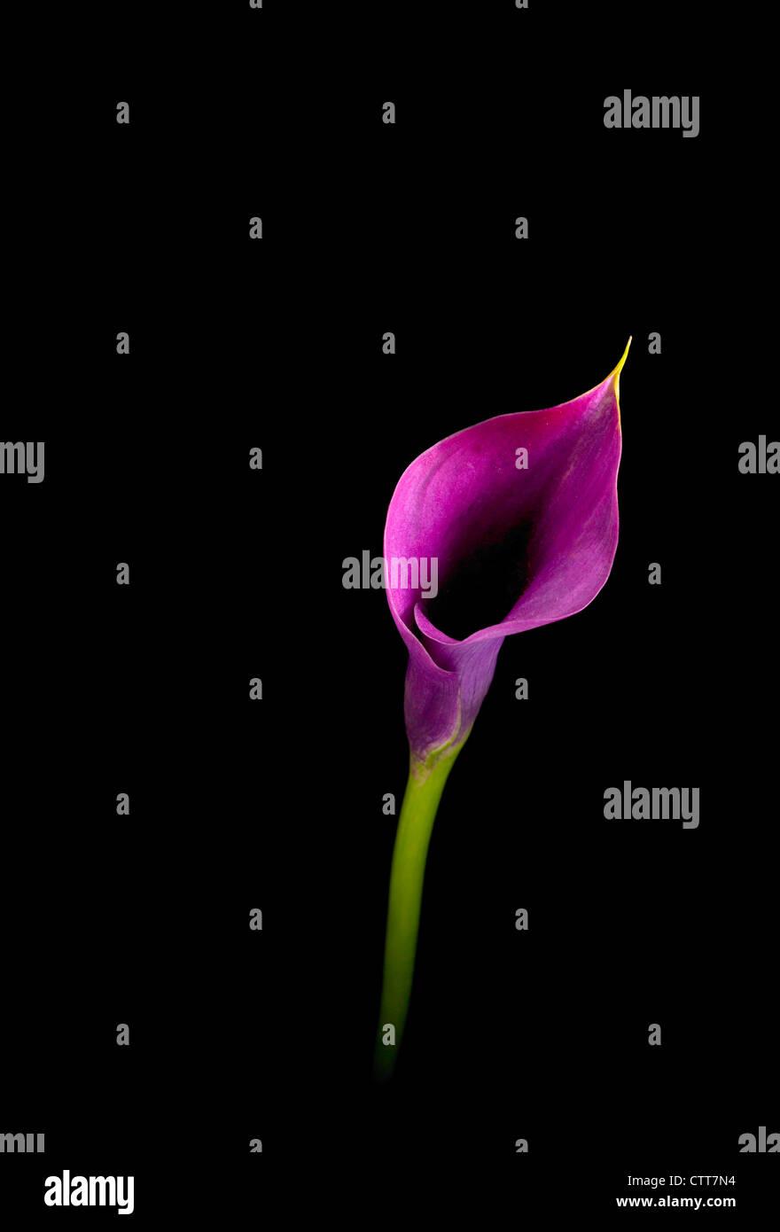 zantedeschia 'capitaine', prado, lily, d'arum calla lily, violet