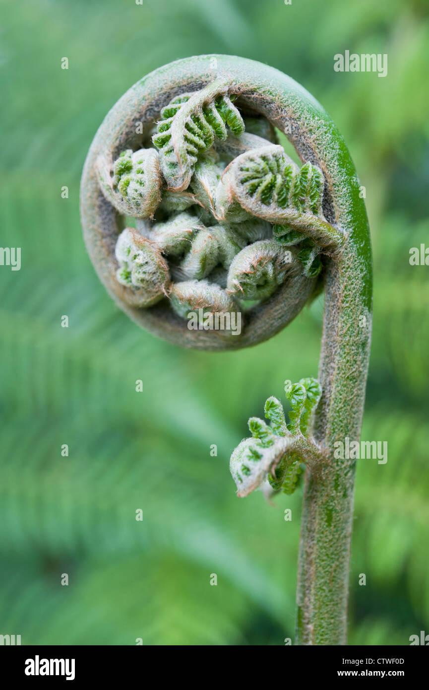 Fern leaf sur le point de se déployer, d'un type de plante ptéridophytes Photo Stock