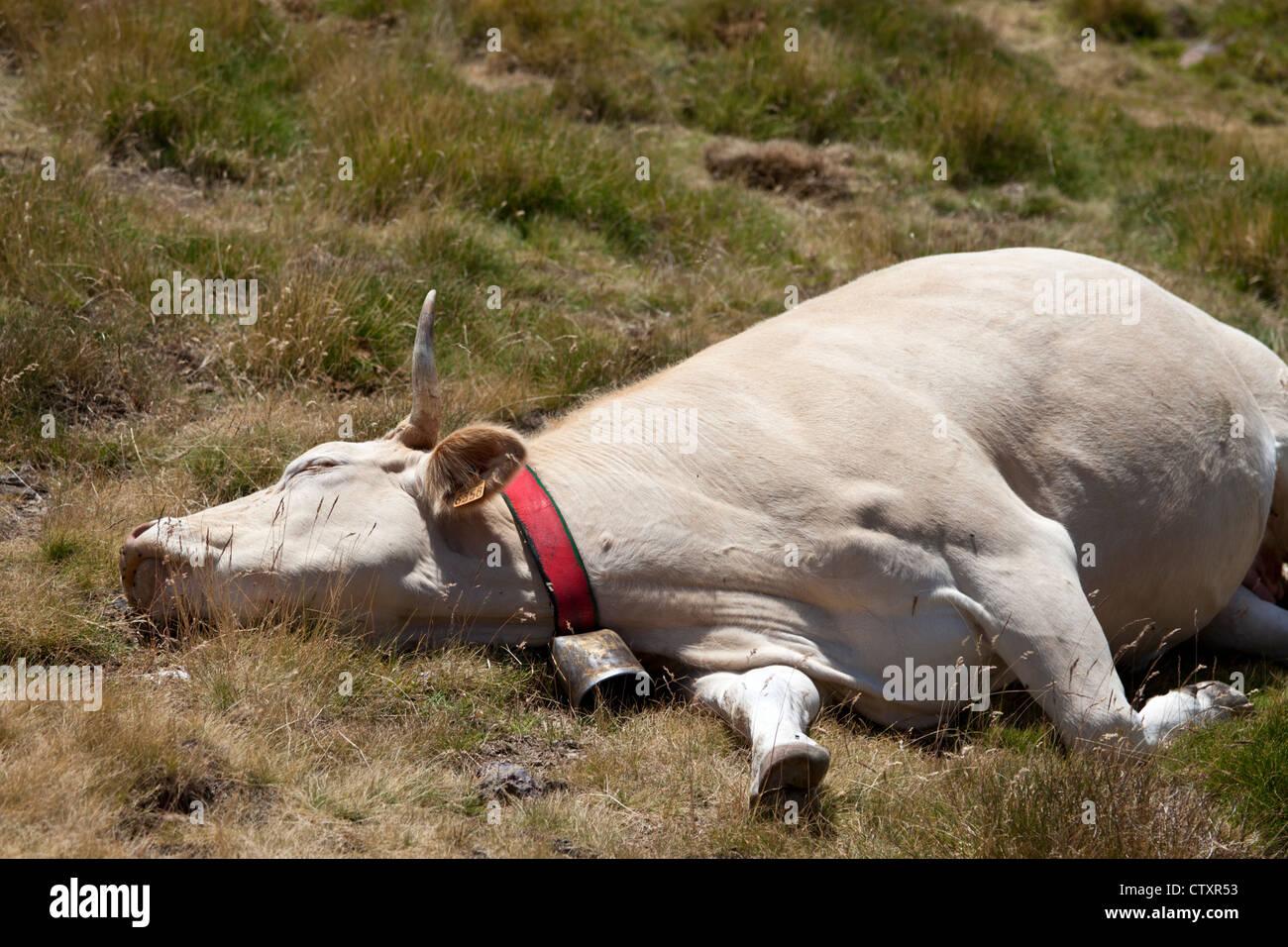 Une vache blonde d'Aquitaine au repos dans une position de détente (ouest des Pyrénées - France). Photo Stock