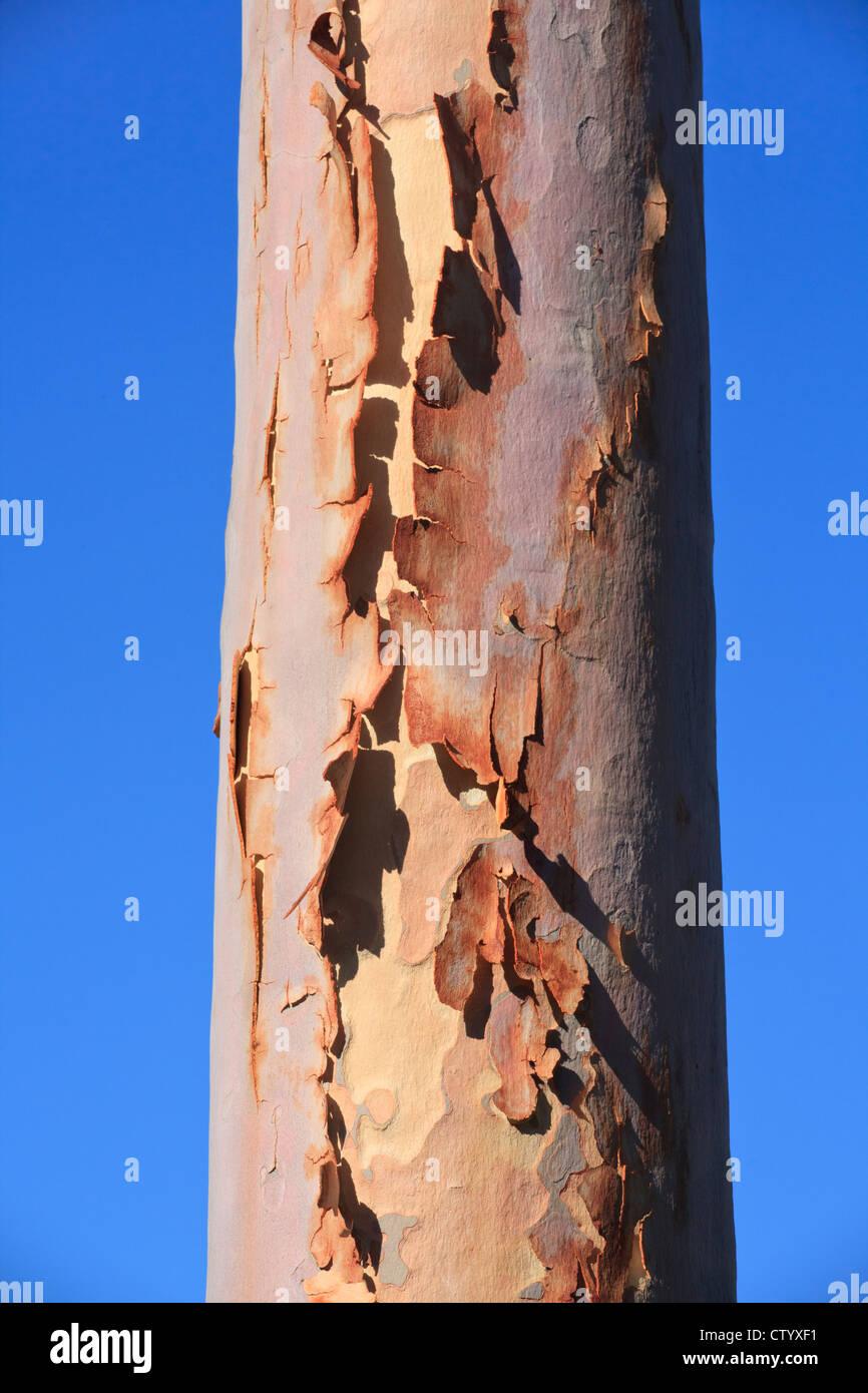 Décollement de l'écorce du tronc d'une gomme parfumée au citron (Corymbia citriodora eucalyptus) Photo Stock