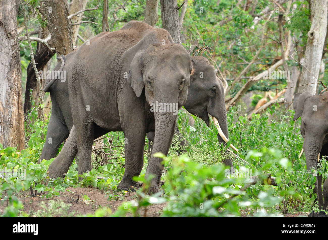 Les éléphants indiens (Elephas maximus indicus) Photo Stock