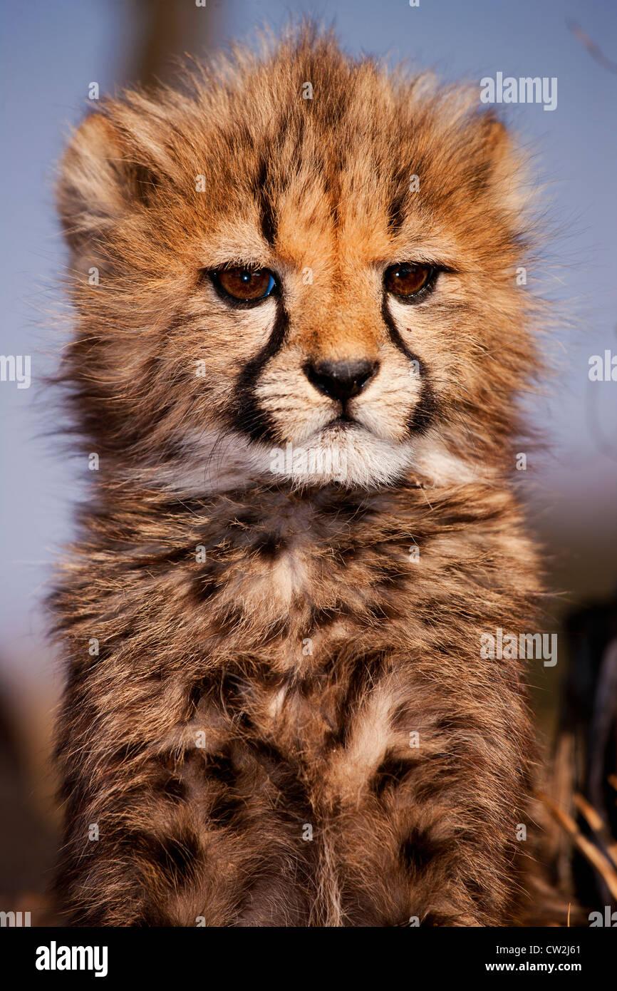 BPortrait cheetah cub de bébé Photo Stock