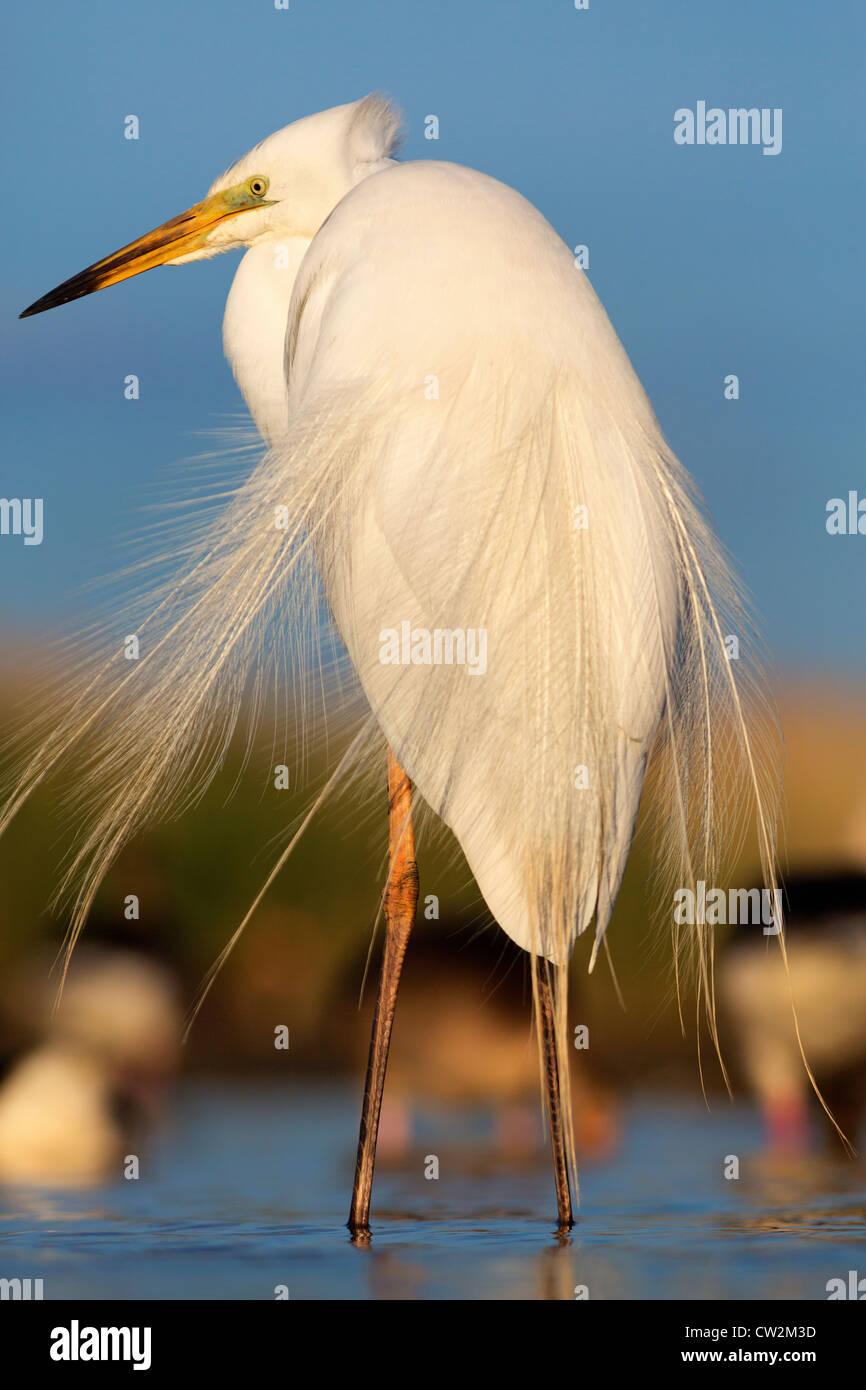 Grande aigrette (Ardea alba) faim Photo Stock