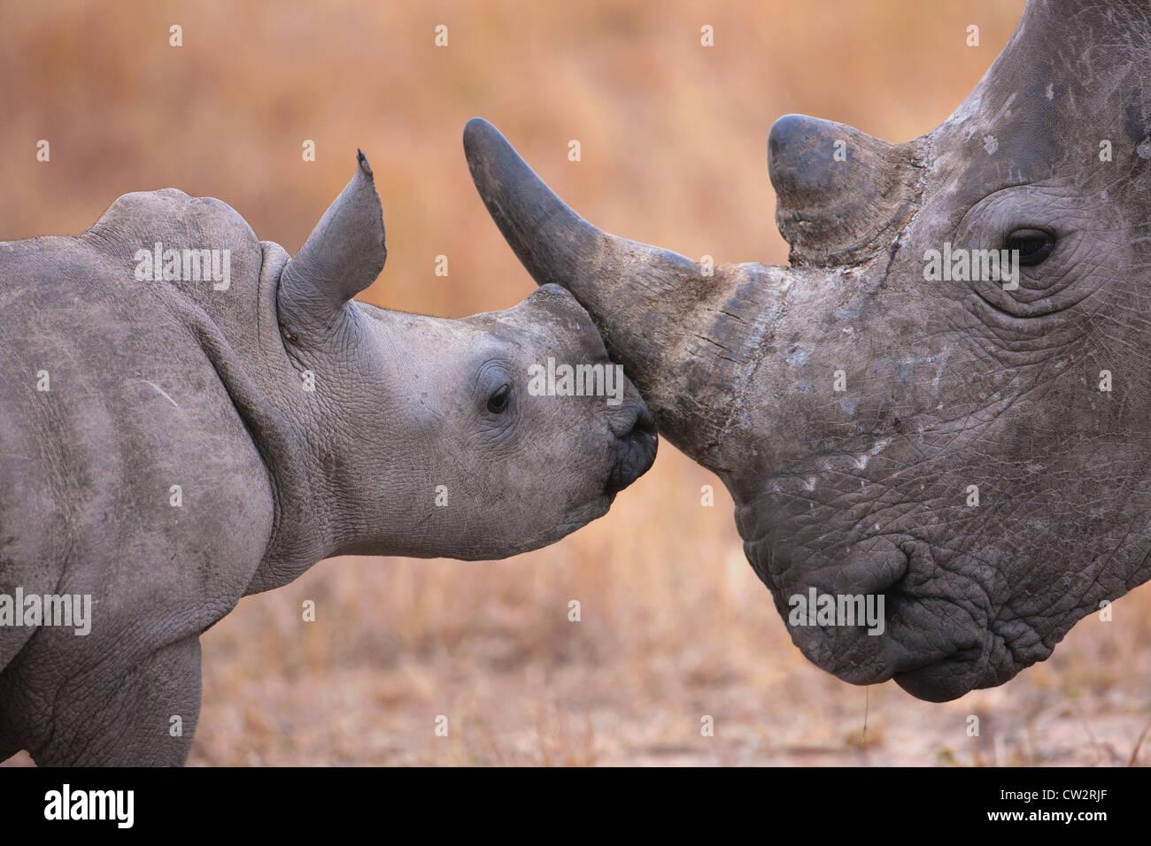 Rhinocéros blanc bébé nuzzling sa mère Photo Stock