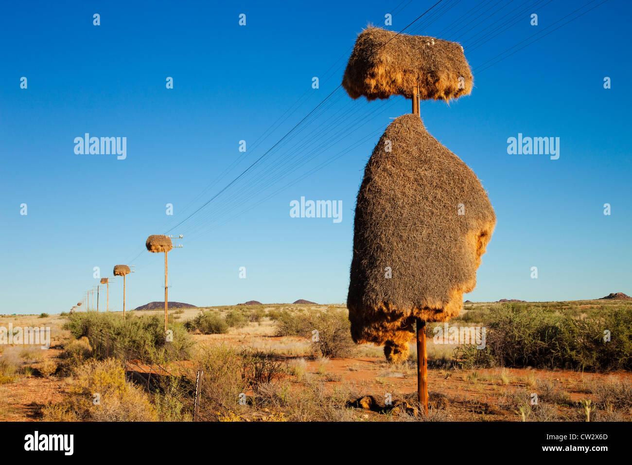 Sociable Weaver nest (Philetairus socius)faite sur un poteau téléphonique.La Namibie Photo Stock