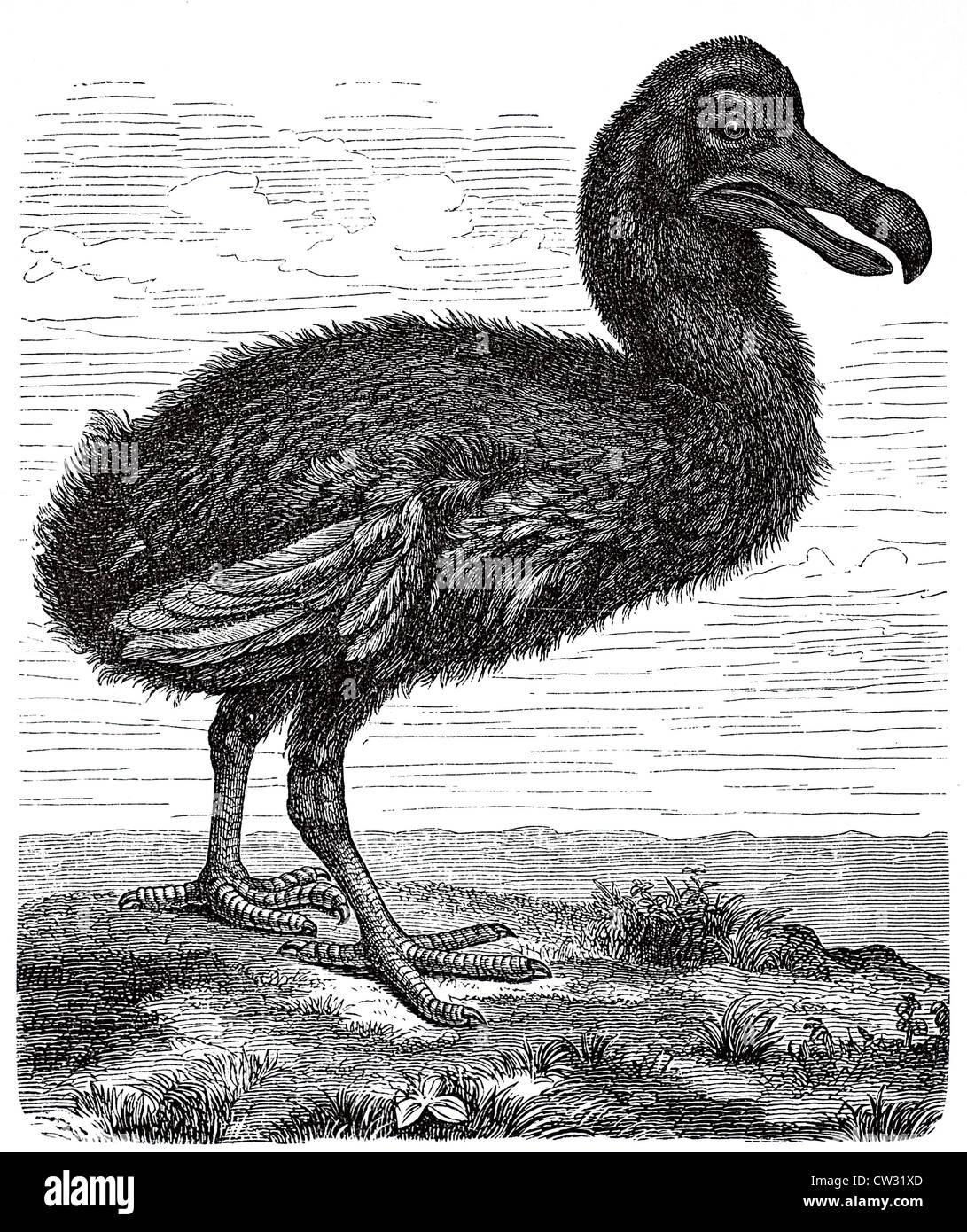Le dodo Banque D'Images