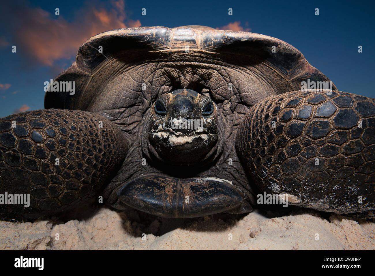 Tortue géante (Geochelone gigantea). Les espèces vulnérables. Dist. îles Seychelles. Photo Stock