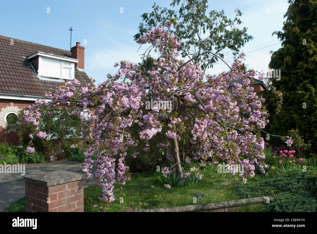 Cerisier Pleureur Dans Fleur Pleine Devant Avec Jardin Bungalow Avec